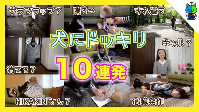 【ドッキリ】愛犬にドッキリ10連発した結果!丸太郎&麦太郎?チワワ【ももかチャンネル】