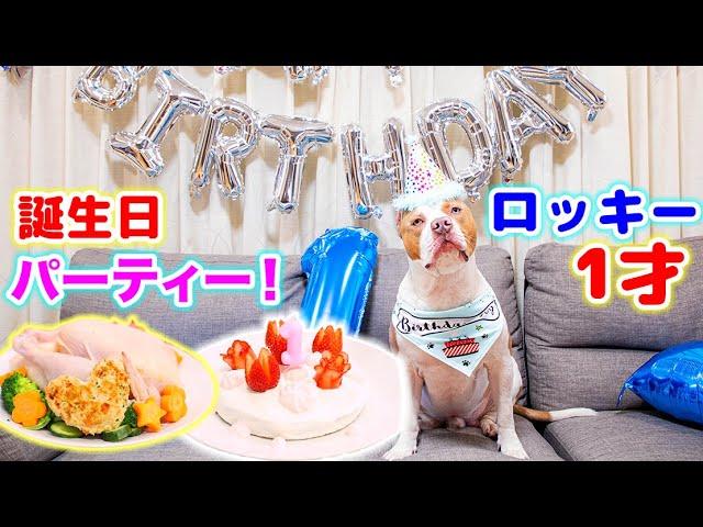 ロッキー1才の誕生日パーティー!プレゼントに手作りケーキ!巨大なチキンも?!可愛すぎる!【アメリカンピットブル】【誕生日パーティー】