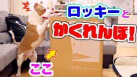 ロッキーとかくれんぼ第2弾!次は箱の中に隠れる?!ロッキーは見つけられるのか!【アメリカンピットブル】
