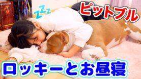 【ルーティーン】ロッキーとお昼寝ルーティーン!寝てる間ロッキーは何してる?【アメリカンピットブル】