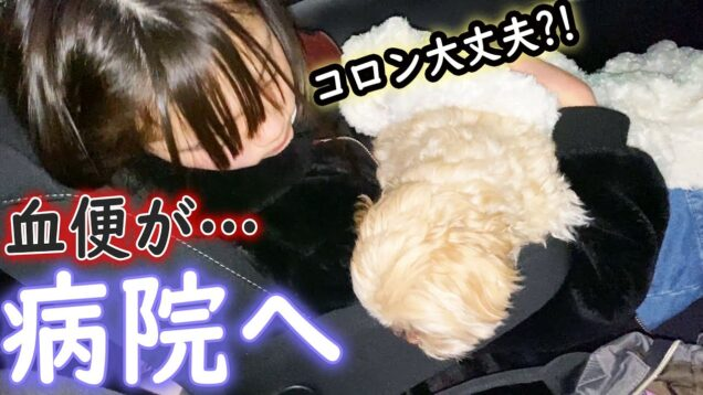 愛犬コロンが病気に?!血便で急遽病院へ…。【しほりみチャンネル】