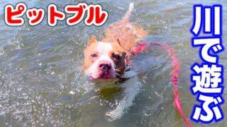 ロッキーを大好きな川で泳がせたら可愛すぎたw【アメリカンピットブル】