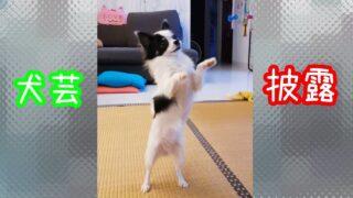 【犬芸】シンガポールチワワもなか🐶の覚えた芸を披露しまーす! #Shorts