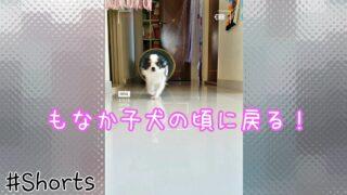 【ゆいな編集】うちの愛犬もなか🐶が子犬の頃に戻った!#Shorts